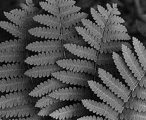 black & white ferns photo